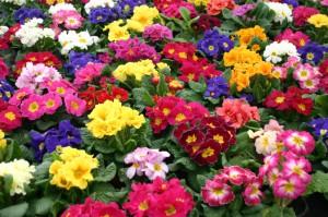 Frühling - Primeln